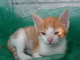 -: My kitten Oliver :- by mournia