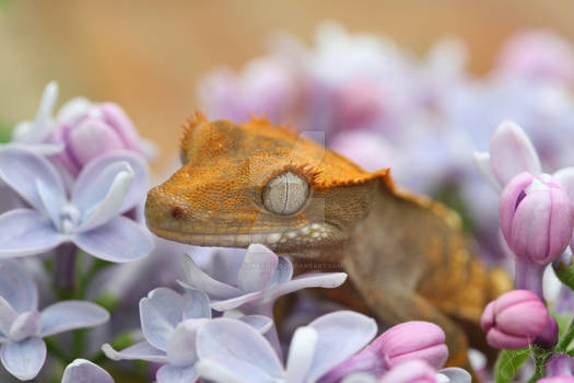 Licks and Lilacs: Cannoli