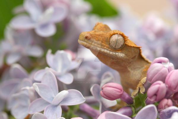 Licks and Lilacs: Spumoni by CatharsisJB