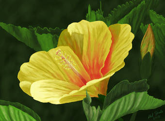 Hibiscus 3 by oldlofty