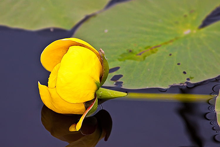 Yellow Lotus with Reflection by Witch-Dr-Tim