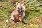 Baby Fox in the Woods 2