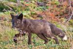 Baby Fox in the Woods 5