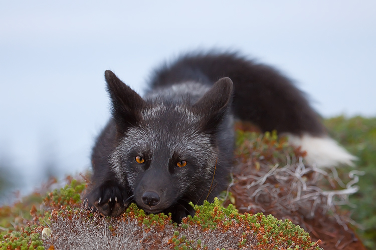 Young Black Fox In The Wild 2 By Witch Dr Tim On Deviantart