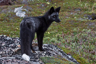 Young Black Fox in the Wild 8