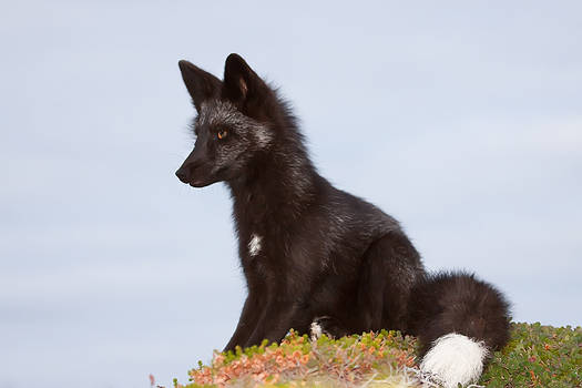 Young Black Fox in the Wild 12