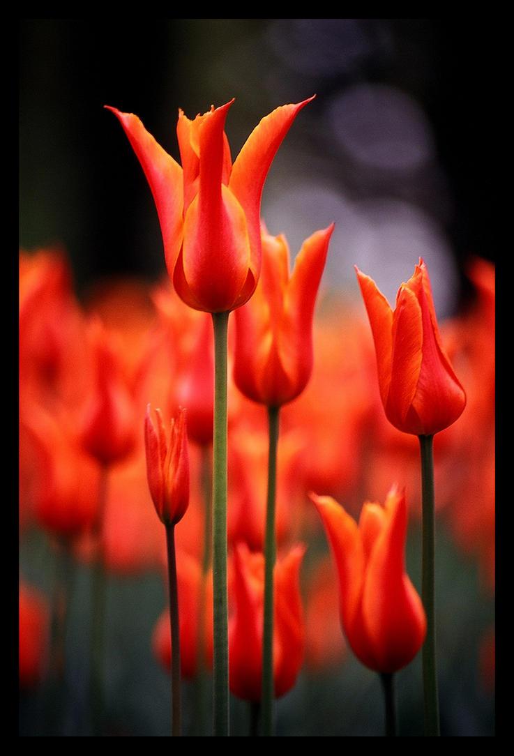 istanbul's tulip by gli