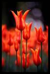istanbul's tulip
