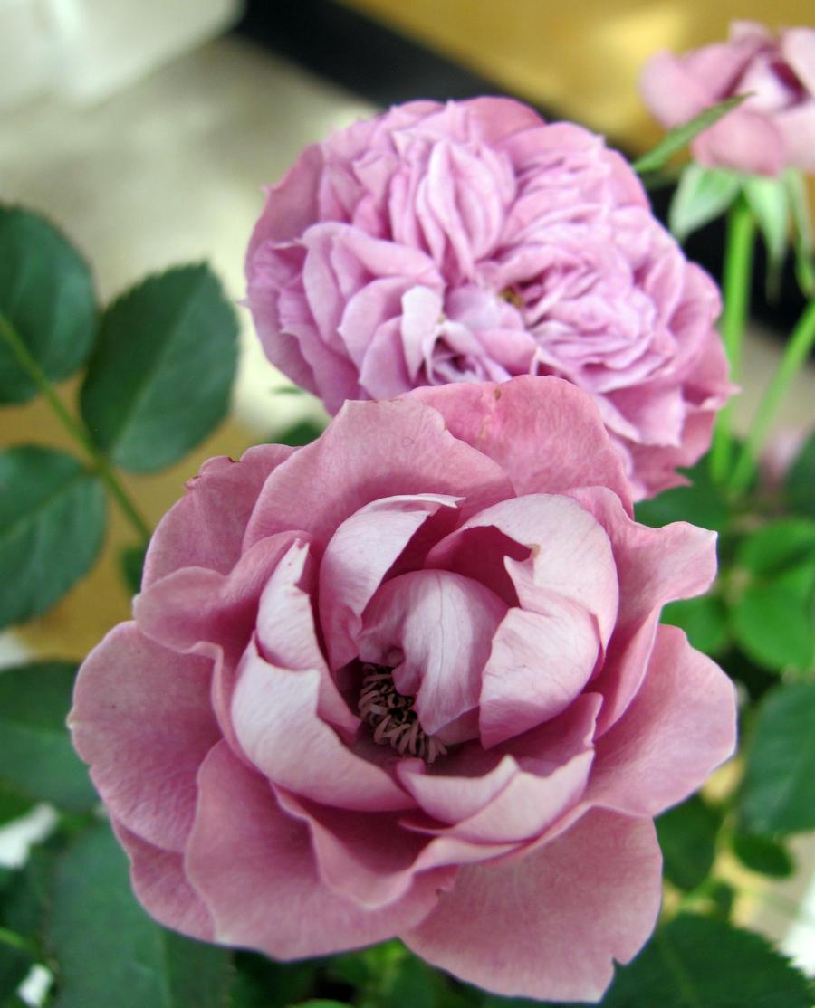 Lilac roses by Jaakuna-Hebi