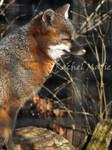What a Fox