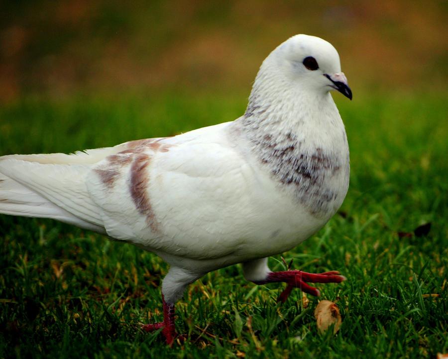 Dove in the park