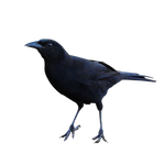 Raven 2 PNG