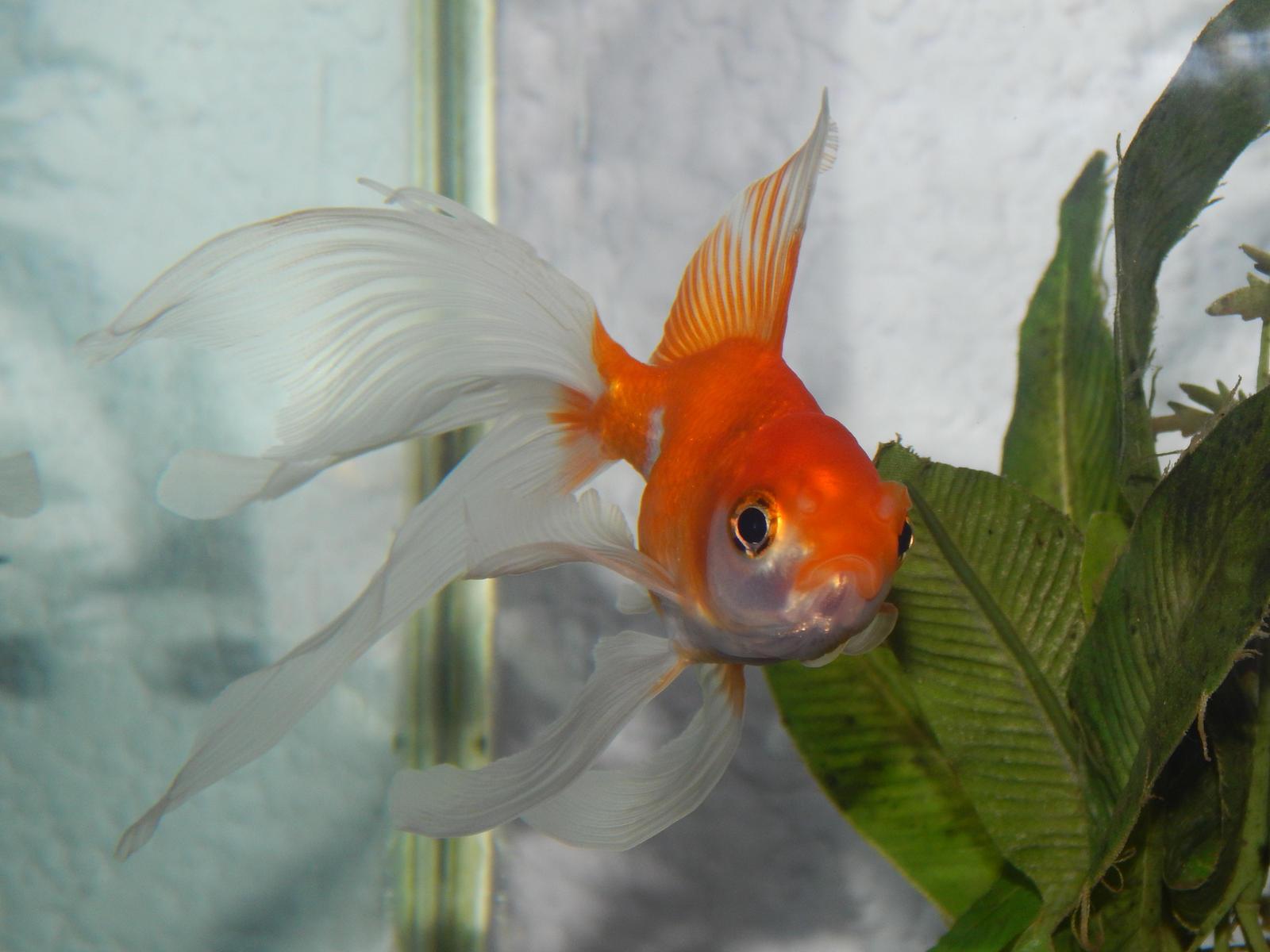 Goldfish stock