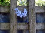 053/365 blue plumbago