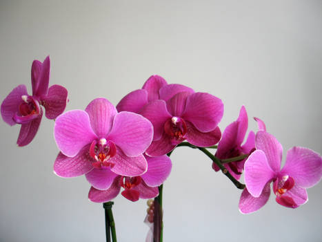 stock.orchid.1