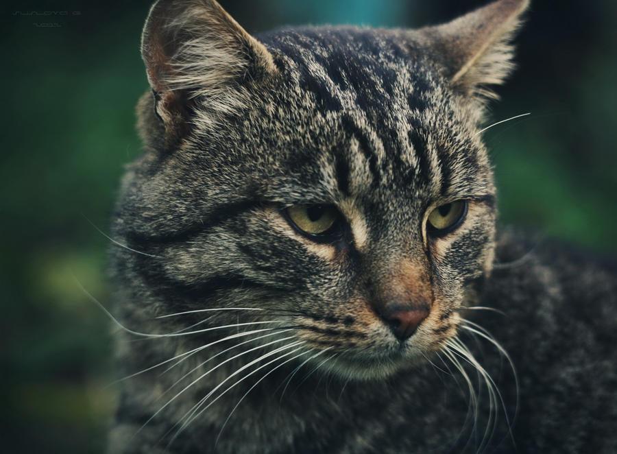 Cat_03 by Sangvinar