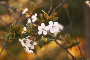 Blossom_03 by Sangvinar