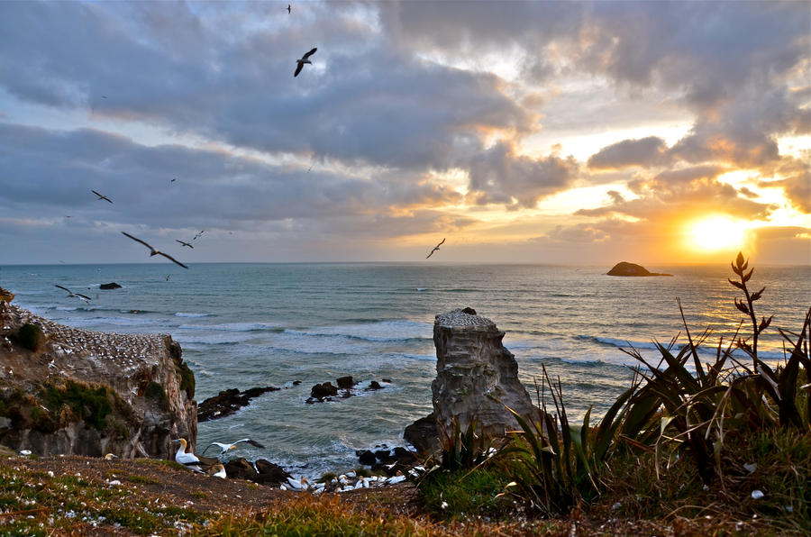 muriwai gannet colony by Aotearoa-Westie