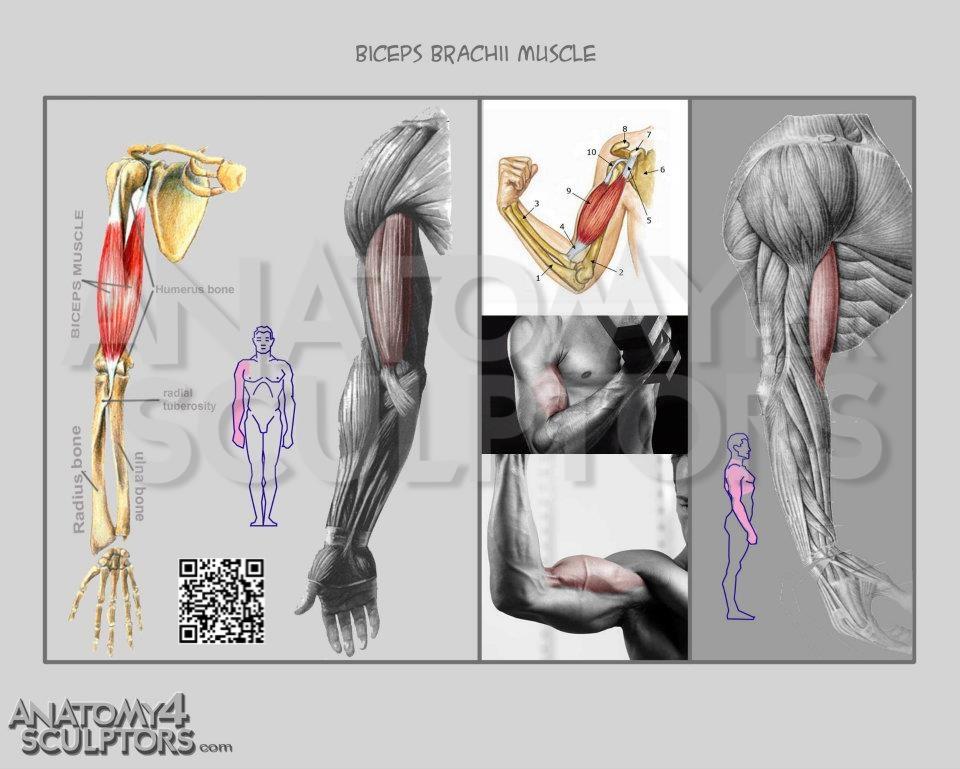 Biceps by anatomy4sculptors on DeviantArt