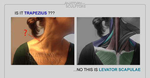 Is it Trapezius... no, this Levator Scapula