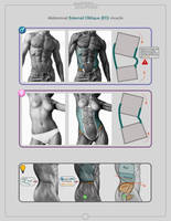 Abdominal Extrenal Oblique muscle by anatomy4sculptors