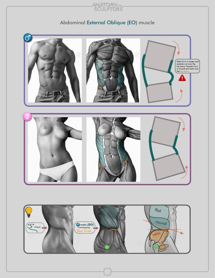 oblique muscle drawing - klejonka, Human Body