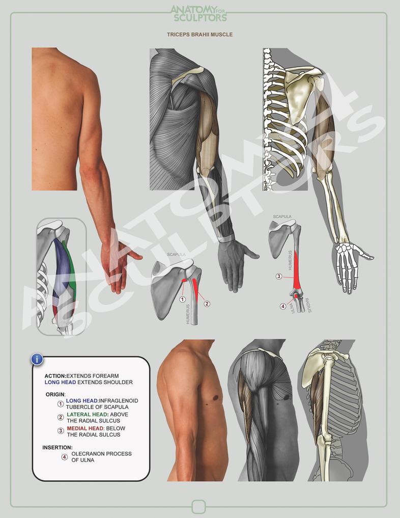 TRICEPS BRACHII MUSCLE by anatomy4sculptors on DeviantArt