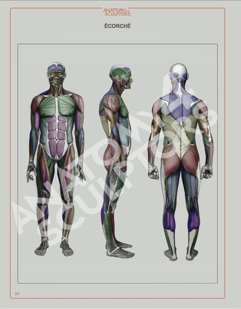 Ecorche by Anatomy 4 Sculptors by anatomy4sculptors on DeviantArt