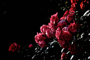 Roses by GeoffroyVincens
