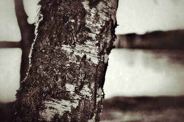 Birch Tree by GeoffroyVincens