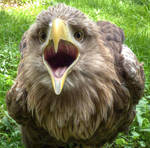 Young Eagle ..