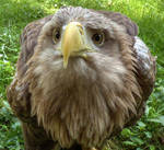 Young Eagle ...