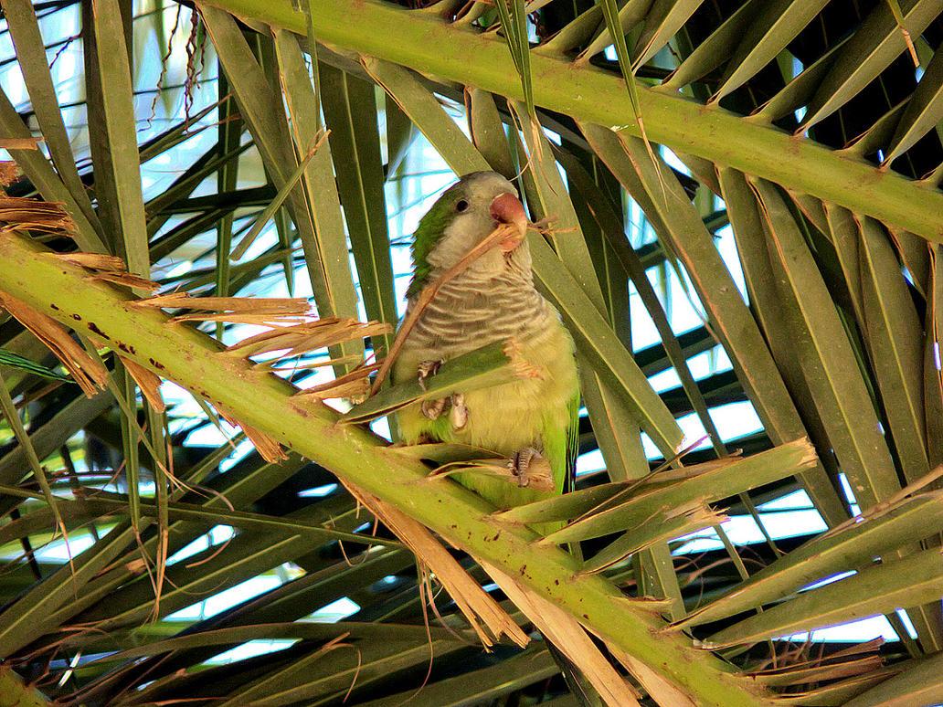 Monk Parakeet by MisterKrababbel
