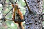 Scandinavian Squirrel