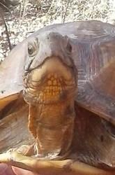 Smug Face Turtle
