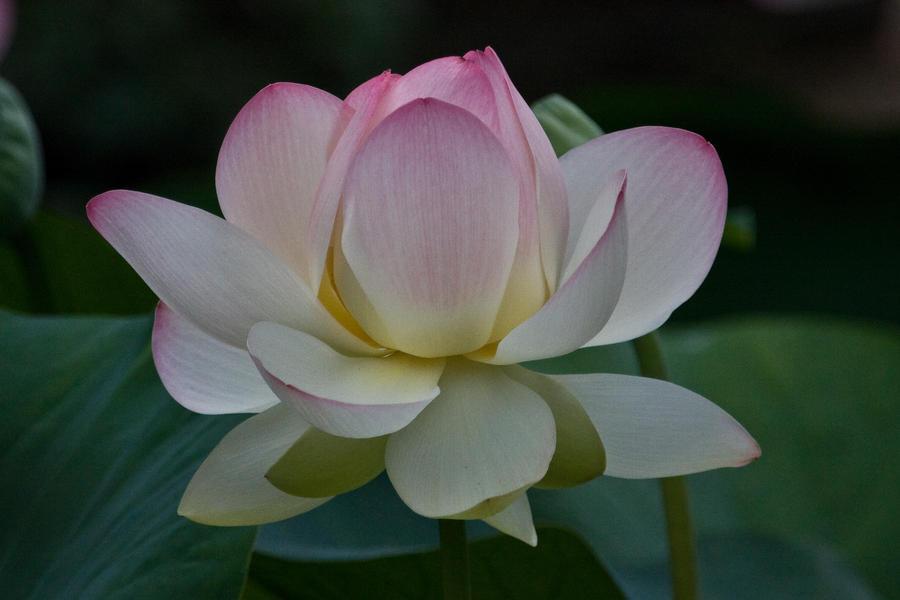 open lotus flower by mf on deviantart, Beautiful flower