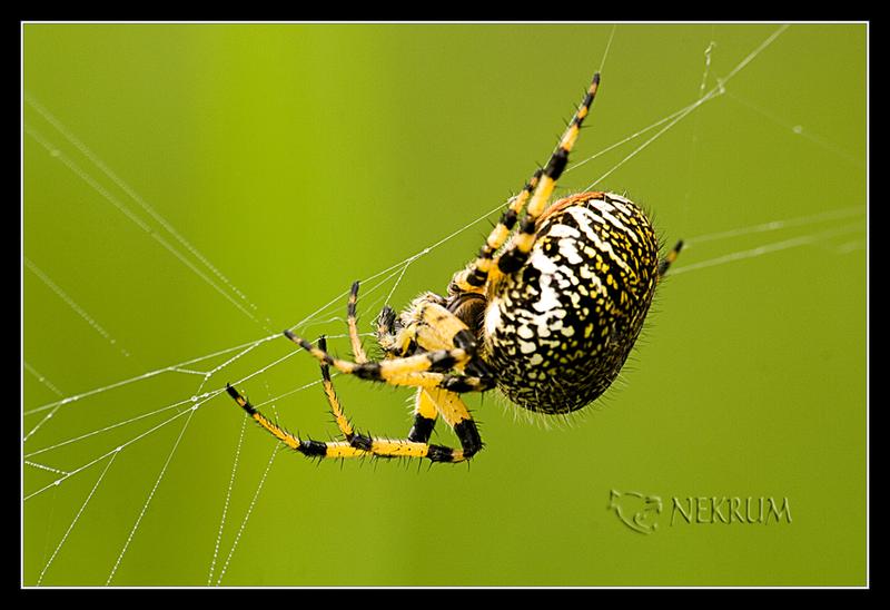 La gran aranya by nekrum