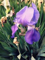 Iris by Shegogirl11