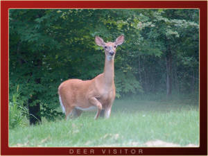 Deer Visitor II