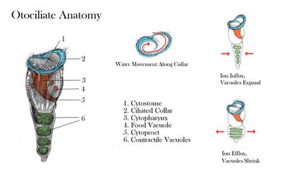 Otociliate Anatomy