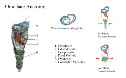 Otociliate Anatomy by TheSeaLemon