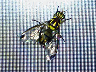 Fly on Laptop Screen by innovation4d