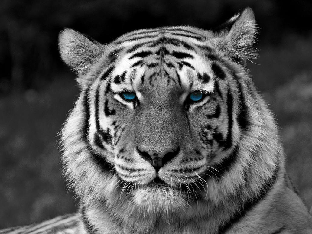 White Tiger Face Wallpaper