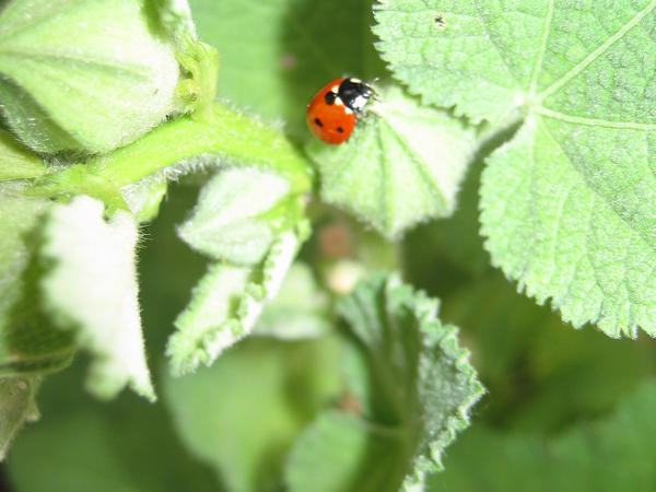 ladybug by guitarknight36