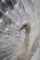 041 - White Peacock