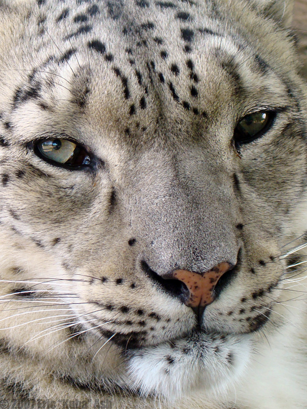 Snow leopard face side - photo#17