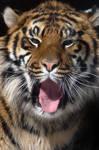 Somnolent Sumatran Cub