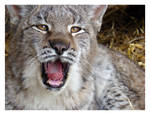 Fourty-Winks Lynx