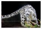 Rain Leopard