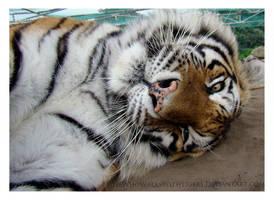 Twist Tiger by HeWhoWalksWithTigers